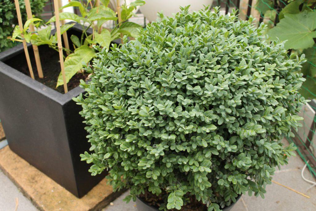 Buchsbaum - Verschönerung für unsere Terrasse?