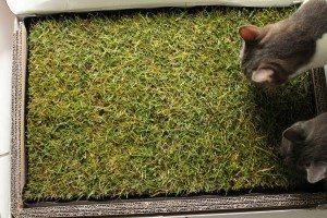 Miau Katzengras (3)